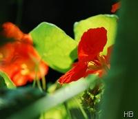 Kapuzinerkresse © H. Brune