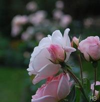 Rose 'Banquet' © H. Brune