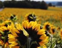 Sonnenblumenfeld © H. Brune