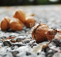 Walnuss © H. Brune