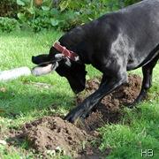 Wühlender Hund © H. Brune