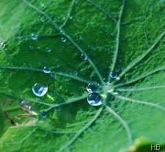 Lotuseffekt auf Blättern der Kapuzinerkresse © H. Brune