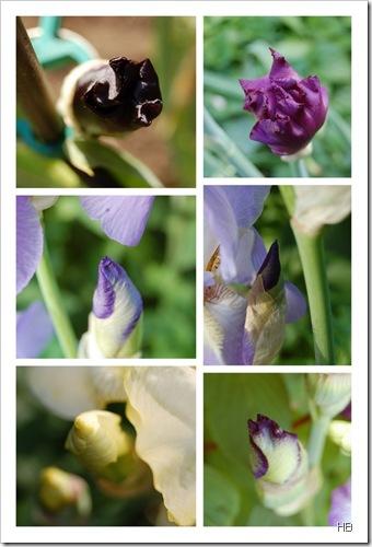 Lilienknopsen © H. Brune