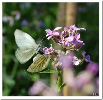Nachviole mit Schmetterlingen © H. Brune
