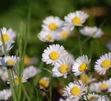 Marienblümchen © H. Brune