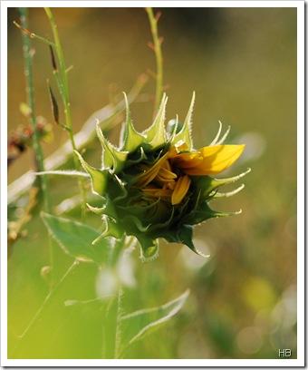 Sonnenblume © H. Brune