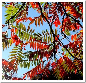 Herbstlaub des Essigbaums © H. Brune