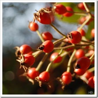Hagebutten der Ramblerrose c H. Brune