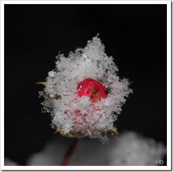 Rose im Schnee © H. Brune
