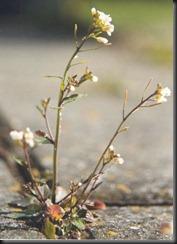 Arabidopsis_thaliana