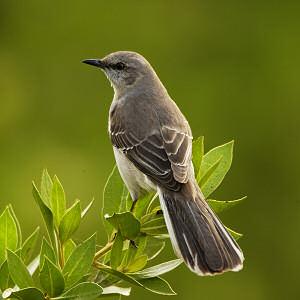 Hoa Dại ở Texas Multi_mockingbird