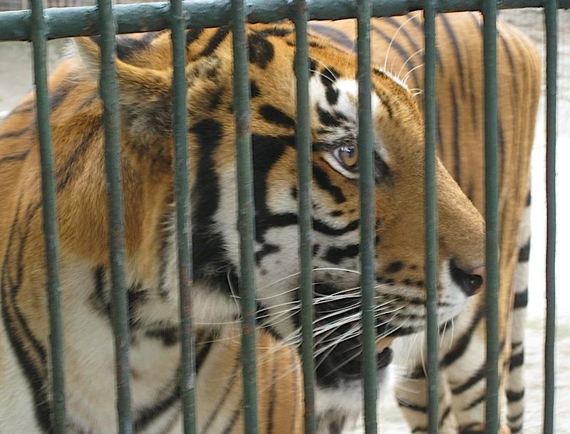 tiger at the Malabon Zoo