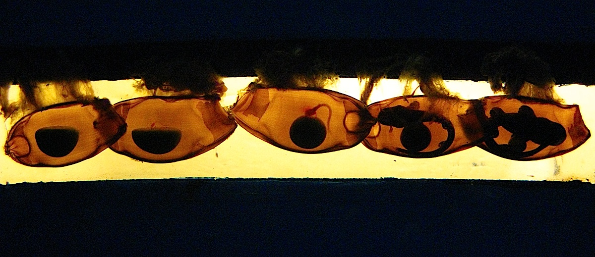 Whitespotted Bamboo Shark eggs