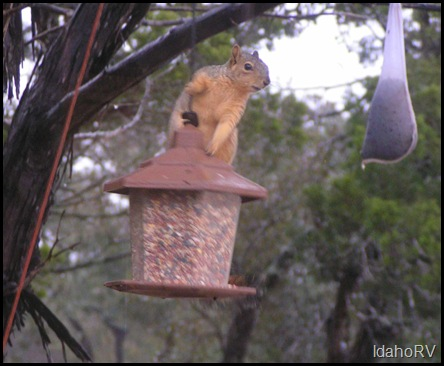 Squirrel-on-Feeder