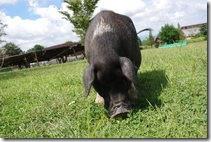子豚の写真