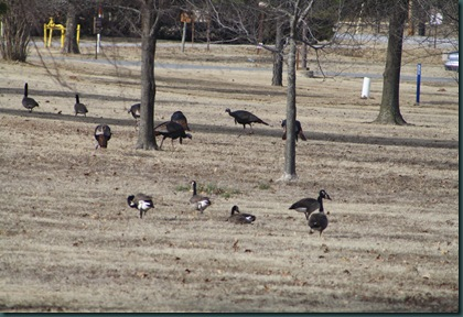 Geese and turkey 037