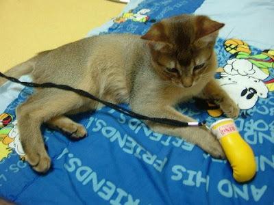 복서 고양이 바토 [고양이,고양이키우기,고양이집사,반려묘,cat]