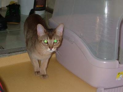 강렬한 눈빛 고양이 [고양이,cat,vato,바토]
