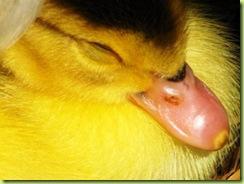 little duck 2 for web