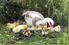 little ducks 7 for web