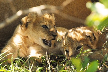 lilly's cubs