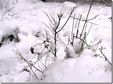 20100112 Metre snow birch sapling