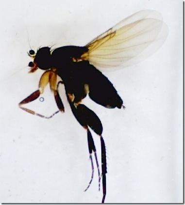 Megaselia ciliaris