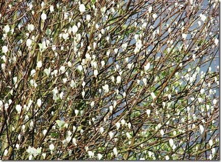 20100503 Sorbus aria leafing South View