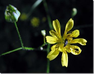 20090703 KWR nipplewort & pollen beetle