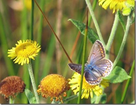 20090810 BHW Common blue & fleabane