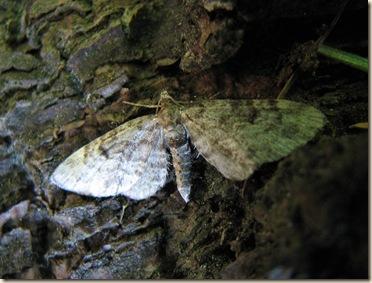 20100604 BHW pug moth cpt 3b 015