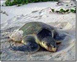 zThumb_Kemps-ridley-turtle(1)