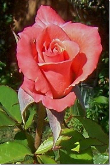 coral rose 3