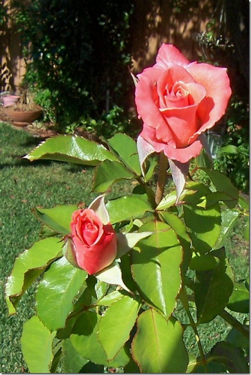 coral rose 2