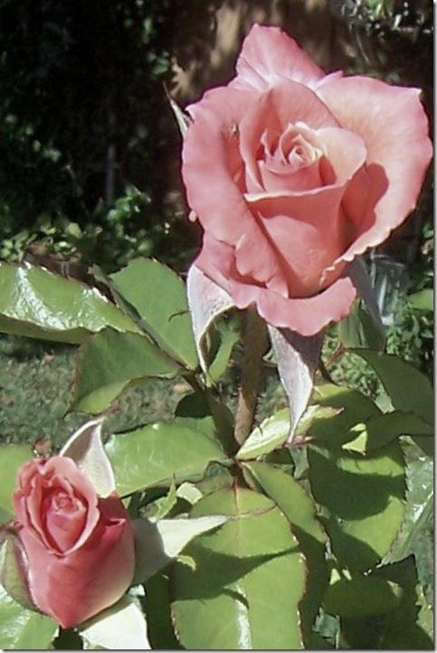 coral rose 4