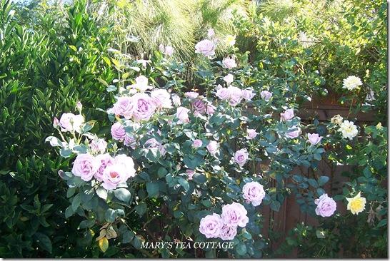 lavender rose bush