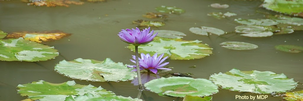 Lotus Photo by Mdm Paw