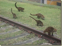 Lemurs near Gatun Locks (Small)