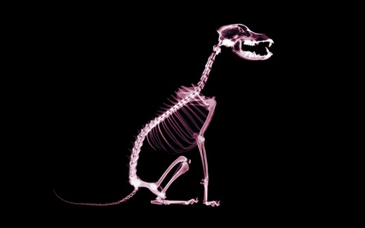 (32)HD-X-Ray-View-Desktop-Wallpaper-dog-animal