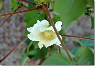 cotton elementary 0810 (5)
