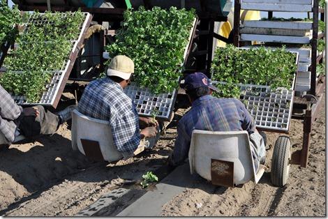 transplanting watermelons 0311 (36)