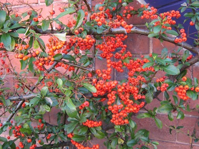 Thorny bush with berries