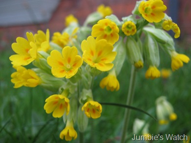 Yellow Cowslips