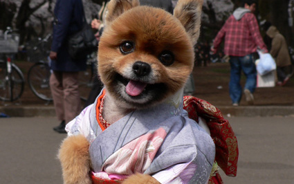 Dog in kimono