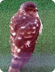 hawk (2)