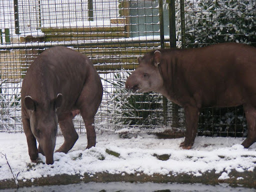 http://lh4.ggpht.com/_Dan11Nil7Vs/SYCm_aY2h1I/AAAAAAAAPgo/PdYhyjg6pvw/03-lowland-tapir-robbins-dudleyzoo-2009-01-04.jpg