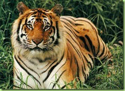 bengal-tiger-3_z2s