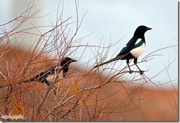 La picaraza un ave muy sociable.