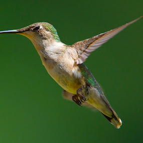 The Blink by Roy Walter - Animals Birds ( flight, animals, wings, wildlife, feathers, birds, hummingbirds )