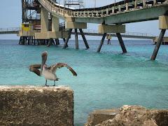 Pelikaan bij de Salt Pier